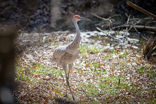 Sandhill Crane on the Move