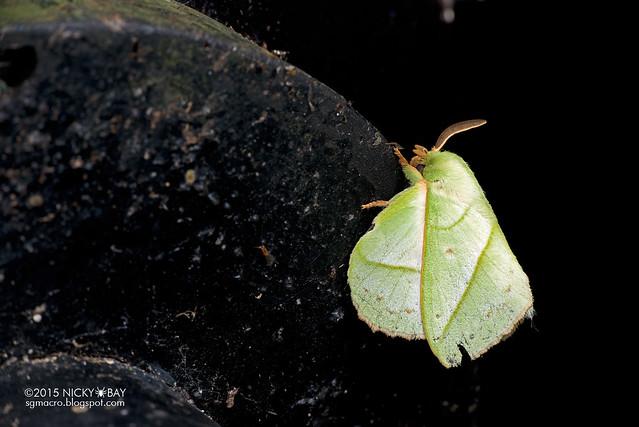 Lappet moth (Trabala sp.) - DSC_5320