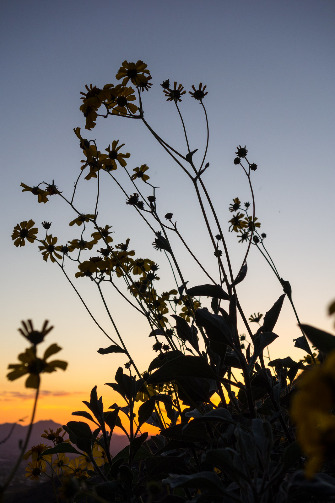 1503 Brittlebush against the sky.ARW
