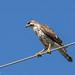 Gray Hawk (Bueto plagiatus), juvenile por Chub G's M&D