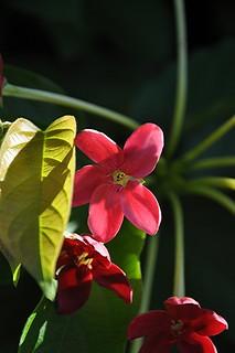Rangoon Creeper in full bloom!