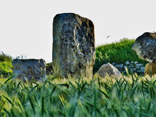 Neolithic standing stones in a field of wheat.  Borg in-Nadur site, Birzebbuga, Malta