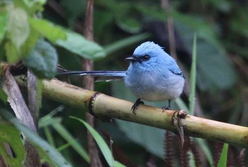 Elminia longicauda (African Blue Flycatcher)