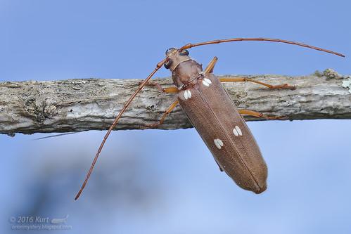 Eburiomorpha guttata_MG_9385 copy