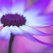 Painted Daisy (Pericallis) by David M. Cobb