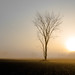Single Leafless Tree at Misty Sunrise