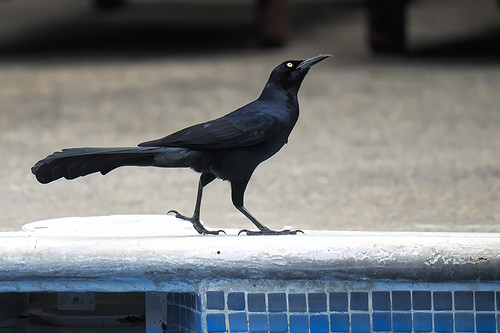 Pico Bonito: Great-tailed Grackle at the Swimming Pool