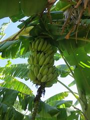 Philippine Banana Variety