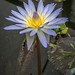 Blue Lotus Flower Garden, Yarra Junction, Victoria by Paddock Without A Fence
