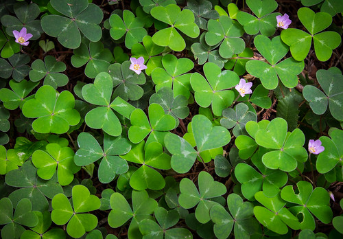 Redwood sorrel is just one of the shade-loving plants that thrive under the redwood canopy. Look for wildflowers in winter and early spring. 1/13 @ f4.5, ISO 200.