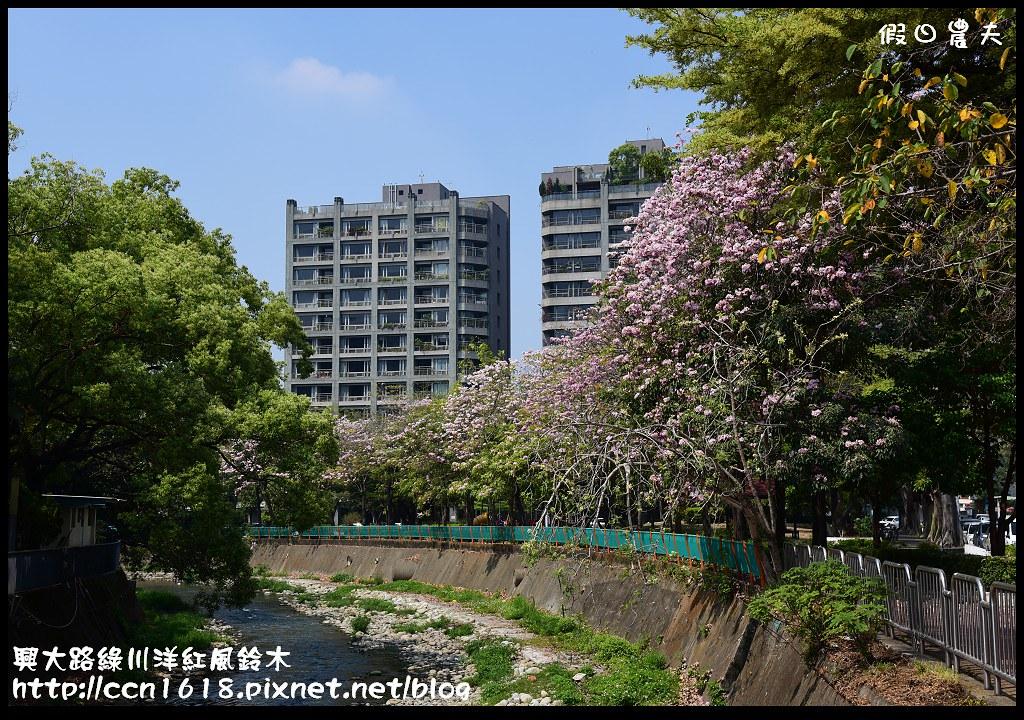 興大路綠川洋紅風鈴木DSC_2285