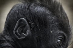 Baby Gorilla at the San Diego Zoo 01-30-15