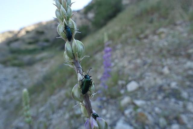 Beetles on lupine, m227