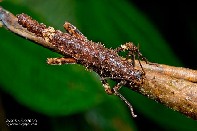 Stick insect (Phasmatodea) - DSC_2742