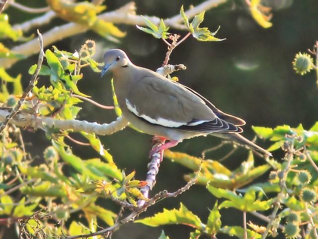 White-winged Dove on Castor Oil bean tree 2-20150402