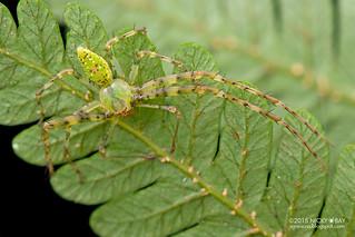 Crab spider (Epidius sp.) - DSC_3235