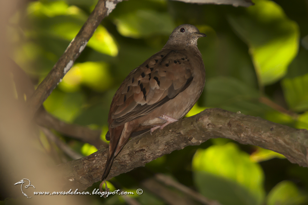 Torcacita colorada (Ruddy-ground dove) Columbina talpacoti