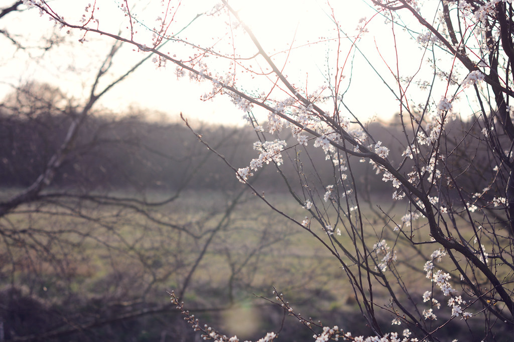 blossomtreesunlight