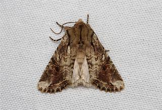 Egira rubrica (Western Woodling Moth) Hodges # 10514