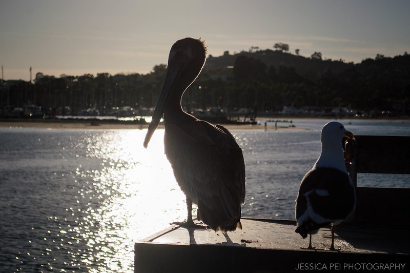 Pelican on Stearns Wharf Santa Barbara California