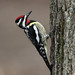 Yellow-bellied Sapsucker by Profiles of Nature