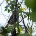 Ferruginous Pygmy-Owl (Glaucidium brasilianum ridgwayi) por Chub G's M&D