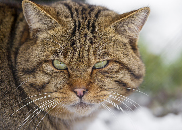 Portrait of a wild cat