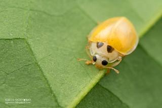 Ladybird (Coccinellidae) - DSC_7579