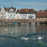 Swans Causing Trouble - Lucerne, Switzerland