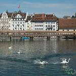 Swans Causing Trouble - Lucerne, Switzerland