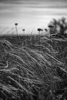 The Feather Grass