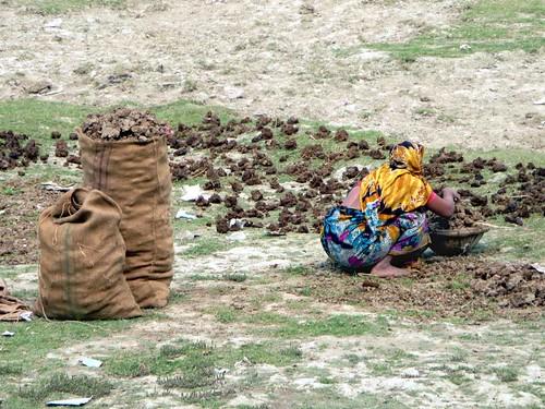 cow dug bangladesh fuel