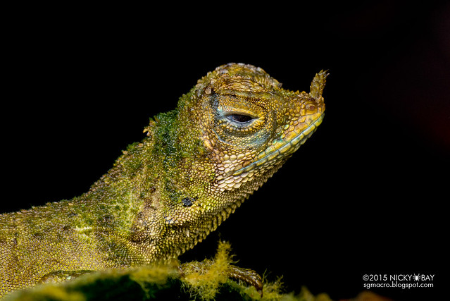 Ornate earless agama (Aphaniotis ornata) - DSC_2999