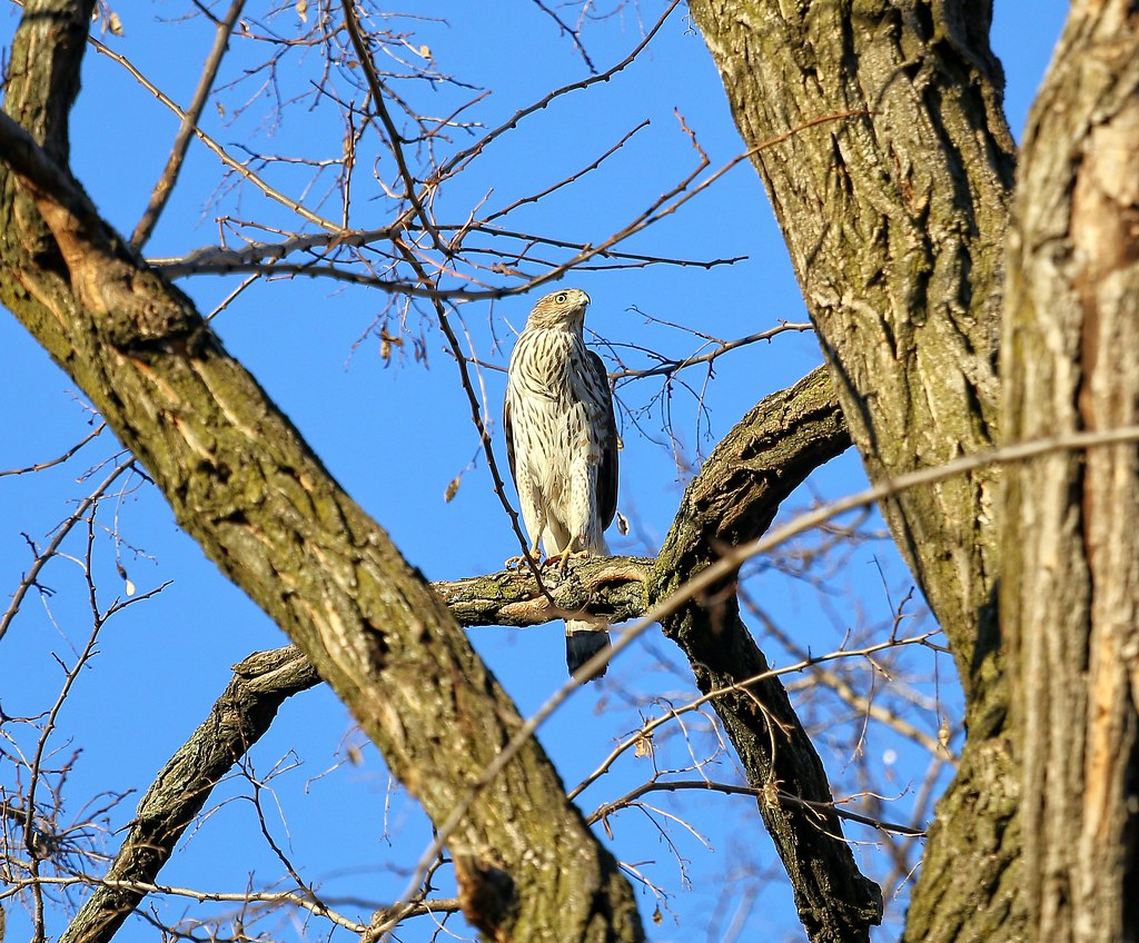Cooper's hawk in the Marble Cemetery