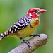 Red & Yellow Barbet by Ric Seet.
