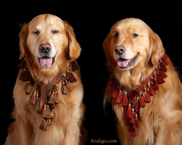 Arabian Goldens?