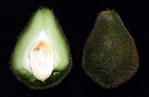 Chayote  #5: MEXICAN  #2