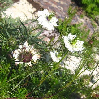 Nigella or Love-in-a-mist