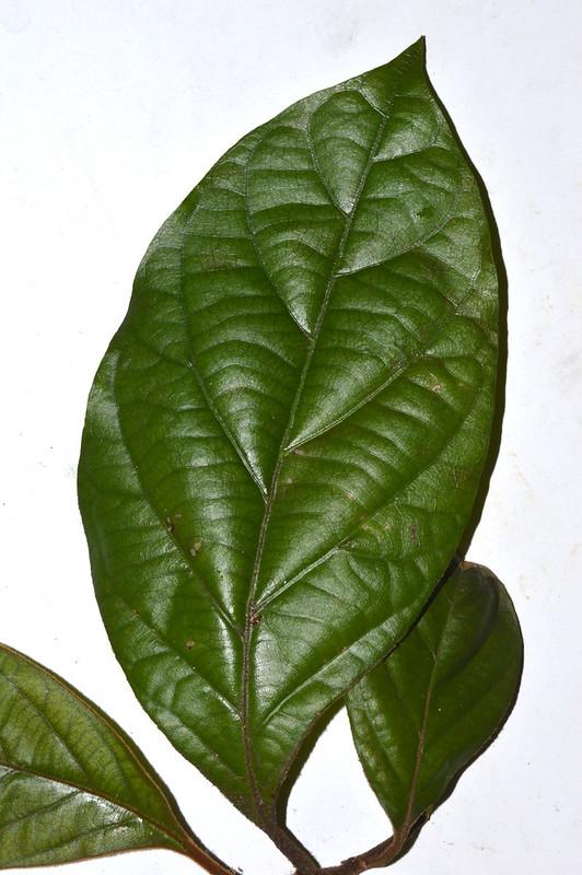 Endiandra insignis Malanda Conservation Park DSC_0349 (2)