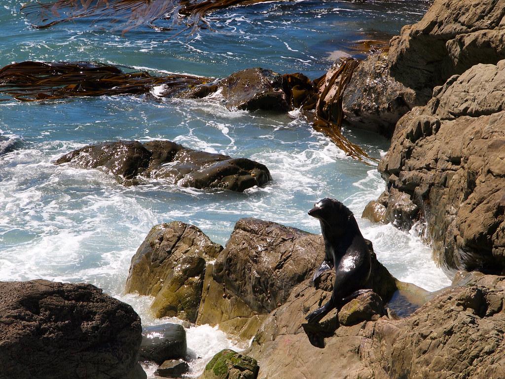 Fur seal in Kaikoura, New Zealand