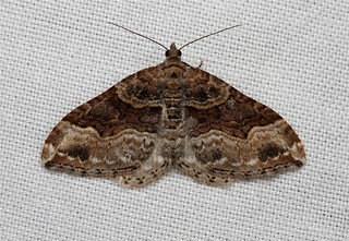 Xanthorhoe lacustrata (Toothed Brown Carpet Moth) Hodges # 7390
