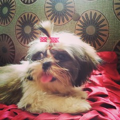My bow matches the color of my tounge □□ #cute #puppy #TootsieShihTzu #instapup #ShihTzuPhilippines #ShihTzu #shihtzusofinstagramuse #shihtzugram #iloveShihTzu #toungesouttuesday