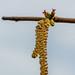 OK's Pics hat ein Foto gepostet:Wer hät's gewusst?Die Haselnuss hat männliche und weibliche Blüten, die langen gelben sind die männlichen und die kleinen farbenfroh pinken die weiblichen.