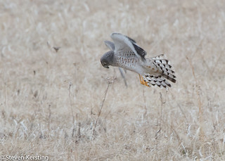 """Northern Harrier; AKA """"the Gray Ghost"""""""