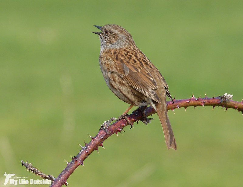 P1110438 - Dunnock, Lizard Point