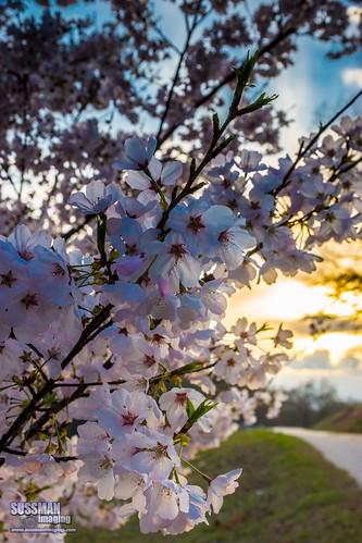 flowers sunset tree nature rural georgia landscape dof unitedstates bokeh cherryblossom dahlonega lumpkincounty murrayville thesussman sonyslta77 wahoobaptistchurch sussmanimaging