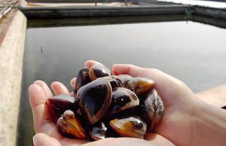 讓養殖老手彈舌、媲美野生的文蛤,健康食安和環境都有保障。(圖片來源:觀樹基金會成龍溼地三代班網站)