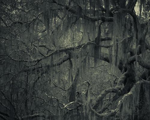 blackandwhite bw tree forest canon dark landscape quercus fantasy liveoak oaks oaktree darkart canon2470 canon7d