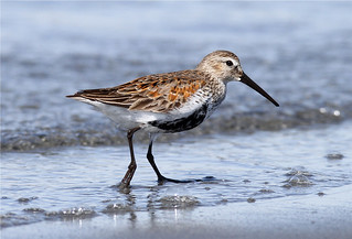 Calidris alpina pacifica (Dunlin) transition Winter to Summer