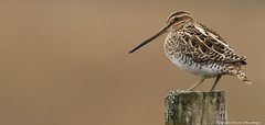 The common snipe (Gallinago gallinago)